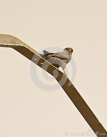 A Grey Kestrel on a metal pole