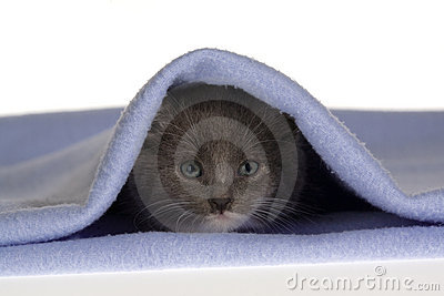 Grey kitten on the blanket
