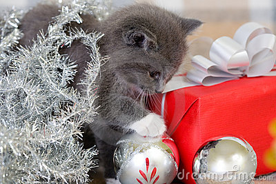 Grey kitten and christmas