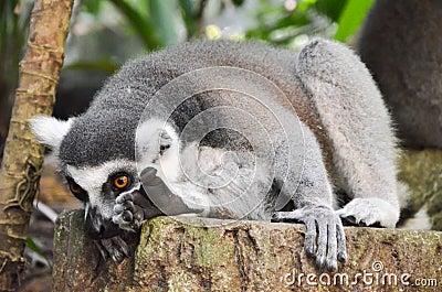 Grey Lemur