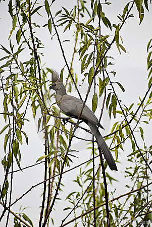 Grey Lourie - Go-away-bird