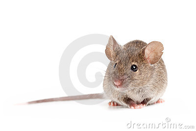 Grey mouse isolated on white