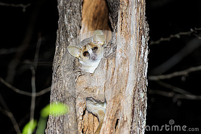 Grey mouse lemur, kirindy
