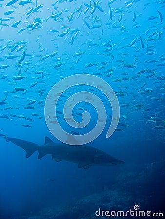 Free Grey Nurse Shark And Small Fish; Australia Royalty Free Stock Photo - 26383625