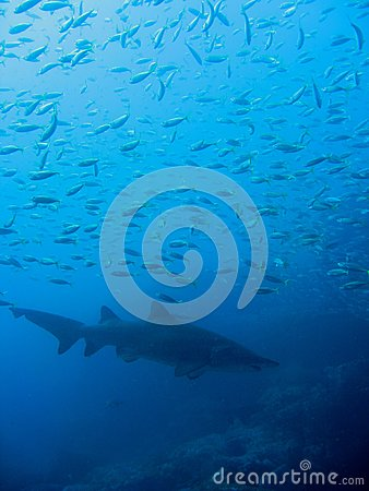 Grey nurse shark and small fish; Australia