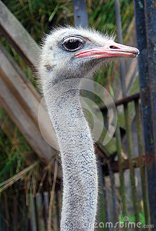 Grey ostrich portrait on green background