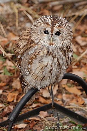 Grey Owl. (Strix aluco).