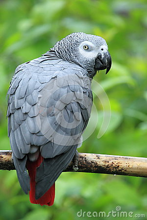 Free Grey Parrot Royalty Free Stock Image - 31335096