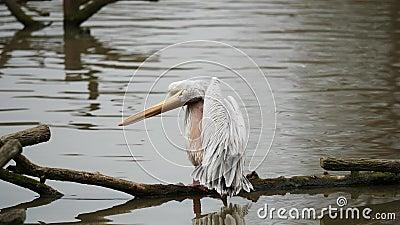 Grey Pelican se coloca en un brunch en el lago y se limpia usando su pico largo, 4K vídeo, cámara lenta almacen de video