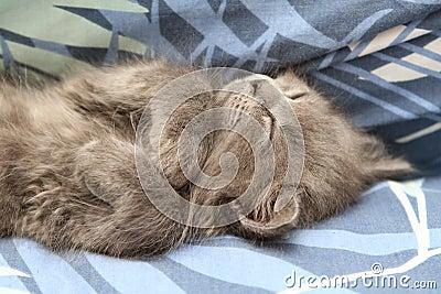 Grey Nebelung Kitten
