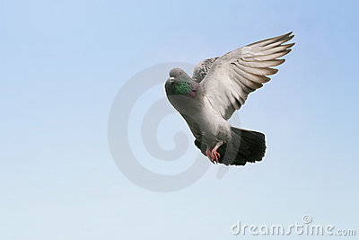 Grey pigeon flying