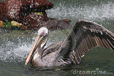 Grey Pink Beaked Pelican