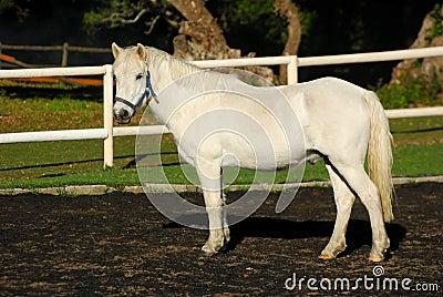 Gray show pony gelding