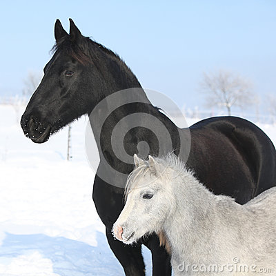 Free Grey Pony With Black Friesian Horse Royalty Free Stock Photo - 35567255