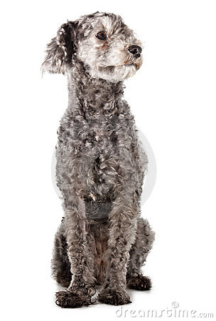 Grey Poodle Stock Images Image 4721594