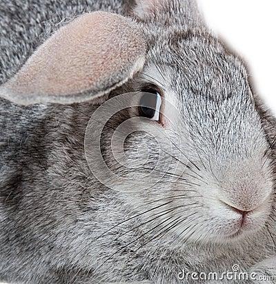 Free Grey Rabbit Royalty Free Stock Image - 1214736