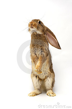 Free Grey Rabbit Royalty Free Stock Photography - 14787187