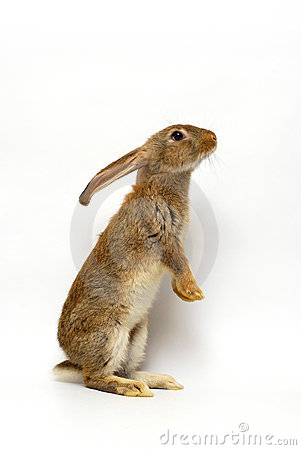 Free Grey Rabbit Stock Photos - 14966743