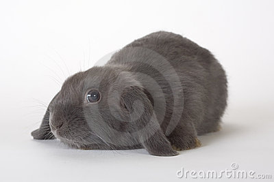 Grey rabbit, isolated