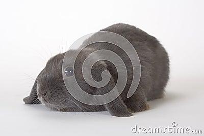 Grey rabbit, isolated