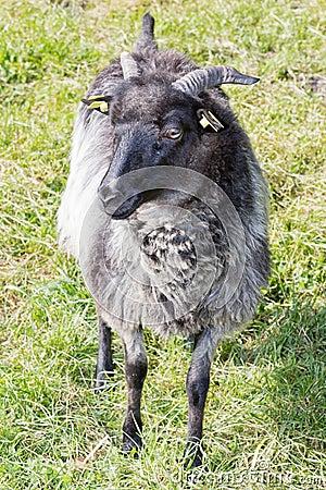 Grey ram