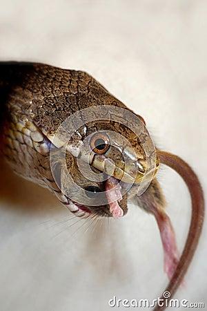 Grey Rat Snake Eating Stock Image - Image: 9059901 - photo#23