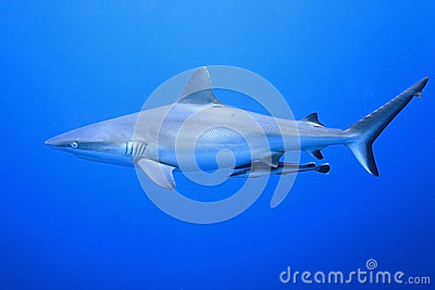 Grey Reef Shark with Suckerfish