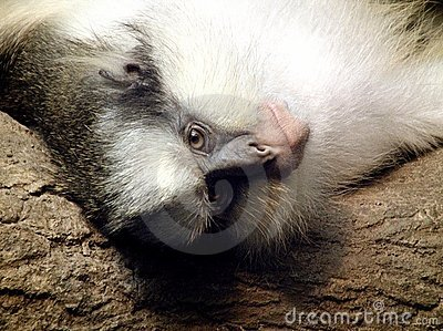 Grey s Crowned Guenon
