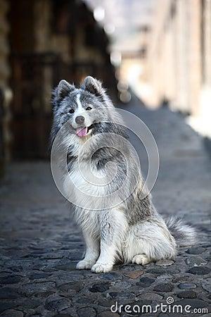 Grey samoyed