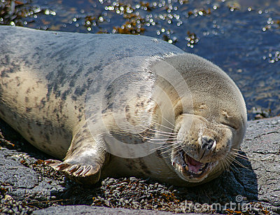 Grey Seal / Halichoerus grypus