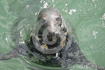 Grey Seal (Halichoerus grypus), Newquay, UK