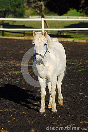 Grey show pony