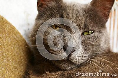 Grey sleepy cat