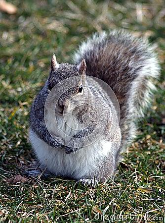 Free Grey Squirrel Royalty Free Stock Image - 23472676