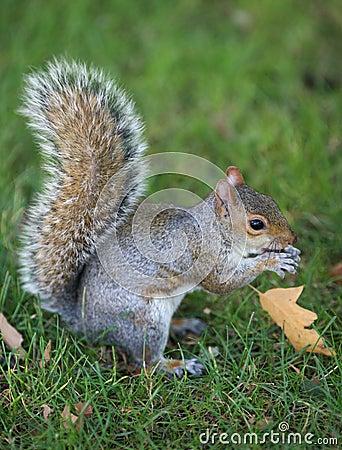 Free Grey Squirrel Stock Photo - 3413480