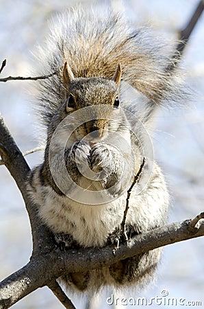 Free Grey Squirrel Stock Photos - 69960103