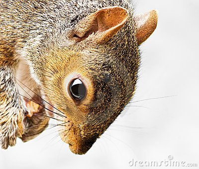 Grey Squirrel Close up of head