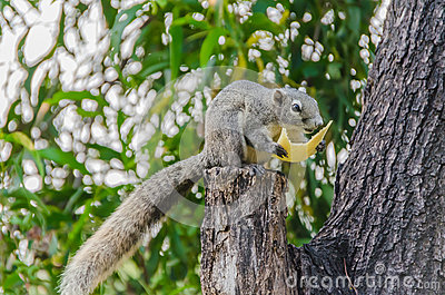 Grey Squirrel eating piece of fruit on the tree