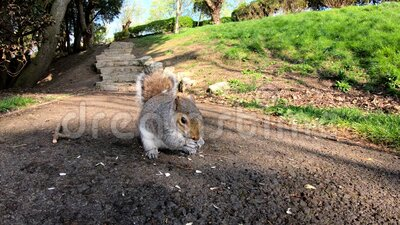 Grey squirrel feeding on sunflower seeds stock video footage