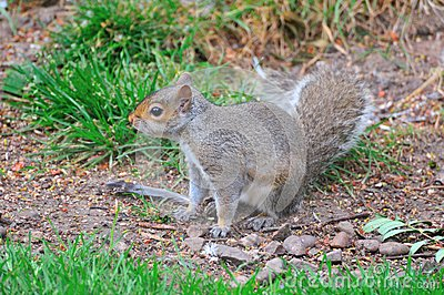 Grey Squirrel on the ground.