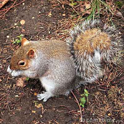 Grey squirrel, Hyde park, London