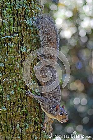 Free Grey Squirrel On Tree Royalty Free Stock Photos - 10143438