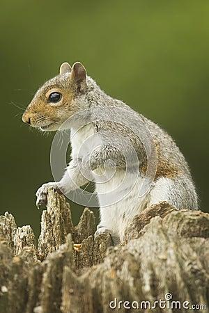 Free Grey Squirrel Sciurus Carolinensis Stock Photo - 96552860