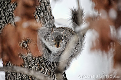 Grey Squirrel in tree