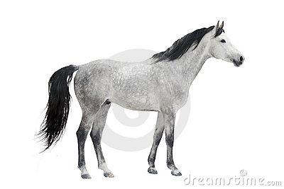 Grey stallion isolated