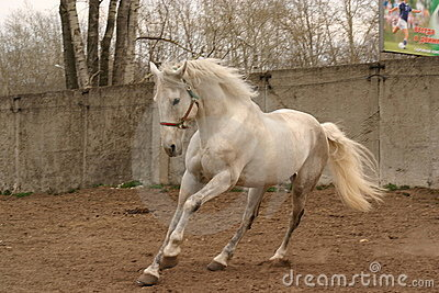 Grey stallion on the move