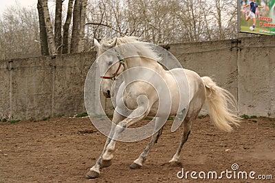 Grey stallion on the move