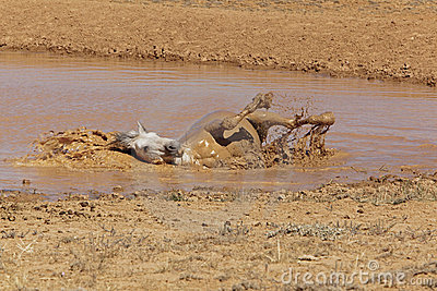 Grey Stallion taking a mud bath