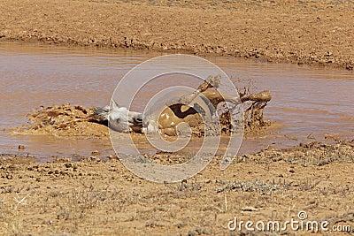 Grey Stallion taking a mud bath