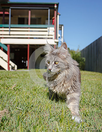 Grey tabby cat on the prowl
